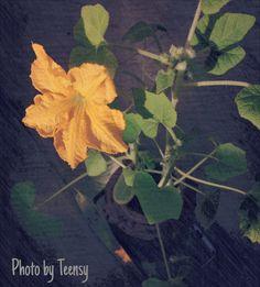 Cute yellow flower: Pumpkin!