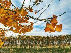 Quando rientri da un viaggio  porti con te emozioni e colori capaci di scaldarti il cuore. {Cantina Ettore Germano Serralunga dAlba - Novembre 2017}. ___________________________________  #langhe #serralunga #Alba #ettoregermano #winetour #winelover #nature #piedmont #italy #piemonte #naturelovers #vineyard #foliage #tree #unesco #amazing #landscape #mytravelgram #aplacetobe #welivetoexplore #loveit #yallersborghi #yallerspiemonte #piemonteturismo #IlikePiemonte #autumn #ritornonlanga…