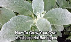 How To Grow Your Own Antibacterial Bandages. See how growing lambs ears in the garden from now on can help with healing wounds. Lambs ears are easy to grow