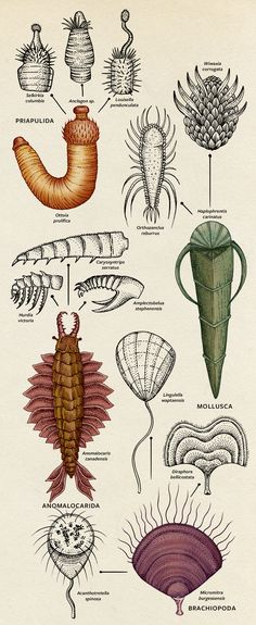 The Greatest Animal War Competition in Cambrian seas helped cause an explosion in diversity. BY BROOKE BOREL - RADIATION: Once a novel group formed, individuals evolved into different species with various adaptations.