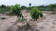 Mango trees after pruning