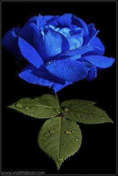 blue rose I love roses..might have to get this one for my garden...beautiful!