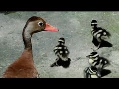 """Patos pichichines invaden mi casa - Black-bellied Whistling Duck."" I love watching the adult duck scare off the cat in this video (starting at about 3:00). Last year, three adults and somewhere between 10-20 ducklings invaded my backyard for 30 minutes. It was quite adorable."