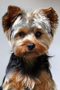"""Learn more relevant information on """"yorky dogs"""". Look into our site. Perros Yorkshire Terrier, Yorkshire Terrier Haircut, Biewer Yorkie, Yorkie Puppy, Teacup Yorkie, Chihuahua, Yorkie Cuts, Yorshire Terrier, Cairn Terriers"""
