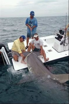 this is a Boca Grande Florida monster hammerhead, i told you that they are huge and even more impressive when your holding on to what they want to eat, a tiny 150lb tarpon. not for the faint of heart