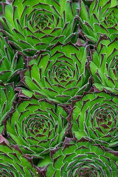 succulent pattern (sepervivium collecteur anchisi)