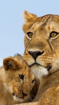 101 Best Lioness And Cub - meowlogy Super Cute Animals, Cute Baby Animals, Animals And Pets, Beautiful Cats, Animals Beautiful, Lioness And Cubs, Lioness And Cub Tattoo, Lion Love, Kinds Of Cats