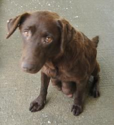 Poor, sad girl.   Bali to be euthed is an adoptable Chocolate Labrador Retriever Dog in Morehead, KY. 7/19: We found out today that Bali had several litters of puppies before being brought to the Pound. Apparently she ...