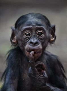 Baby bonobo forgets what he was suppose to be doing!