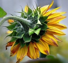 Sunflower Pictures, Sunflower Art, Flower Images, Flower Photos, Mural Wall Art, Blossom Flower, Acrylic Painting Canvas, Botanical Art, Watercolor Flowers