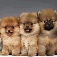 Pomeranias