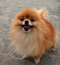 Pomeranian-love this breed...like little foxes!