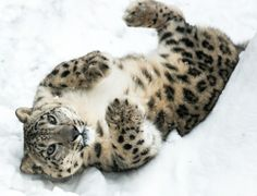 Snow Leopard Playing in Snow by Abeselom Zerit