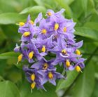 Chilean potato tree. Climber with clusters of purple flowers