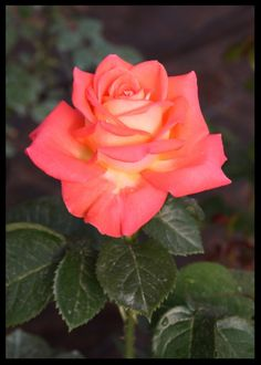 Beautiful Flowers Wallpapers, Beautiful Roses, Pretty Flowers, Orange Roses, Pink Roses, Roses For Her, Rose Reference, Ivy Rose, Rose Pictures
