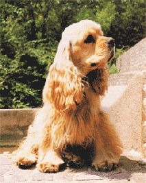 American Cocker Spaniel Information - History, Temperament and ...