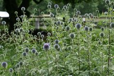 thistle. tall. multi-heads. $12.00/bunch