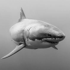 #tbt to my all-time favorite shark, the legendary Cal Ripfin (aka Shredder). Cal was one of the most well-known white sharks (Carcharodon carcharias) at Guadalupe for 10 years. He hasn't been seen since 2011, unfortunately. Photo&caption by @iphotographsharks