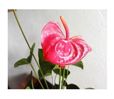 2 flamingoblumen wei anthurien 80cm k nstliche pflanzen kunstblumen anthurie kunstblumen. Black Bedroom Furniture Sets. Home Design Ideas