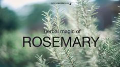 Magical Recipies Online | Herbal Magic of Rosemary
