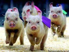 Pig capersfor car