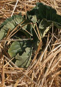 szalma mulcs Plant Leaves, Plants, Plant, Planets