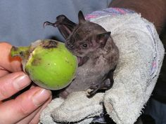 Some tropical fruit bats carry seeds inside them as they digest the fruit, then excrete the seeds far away from the original tree. These seeds drop to the ground in their own ready-made fertiliser, which helps them germinate and grow. Bats also disperse pollen.