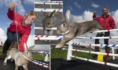Hop to it! Bouncing bunnies compete in show-jumping events after years of training