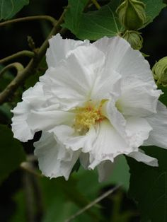 Hibiscus rosa-sinensis white tropical hibiscus at Orchid World Barbados by garden muses-not another Toronto gardening blog