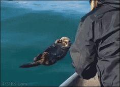 のんびり海で浮かんでいたラッコ。人間に遭遇wwww まるで会社でくつろいでたら、突然社長が来たような動きに注目!