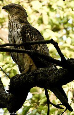 hawk eagle 2-75, via Flickr.
