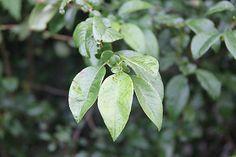 Danielafoto / letný dážď Plant Leaves, Plants, Handmade, Plant, Hand Made, Planting, Planets, Handarbeit