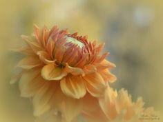 #Dahlie #orange #Garten #Blumen #Blüten diverse Blumen Archive | Fotokunst Ulrike Adam