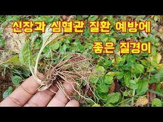 정력 강화와 신장 건강에 좋은 질경이 놀라운 효능 - YouTube Herbs, Plants, Herb, Planters, Plant, Spice, Planting