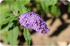 Blüte des Sommerflieders (Schmetterlingflieder)   Arthurs Tochter Kocht by Astrid Paul