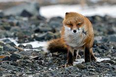 Ein Fuchs vom Winde verweht