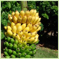 Going Bananas Of Homestead Florida Banana Plant Descriptions