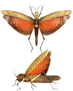 Tropidacris dux.Is that a fucking locust????????