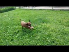 Enthusiastic dog jumps in bush to find toy (VIDEO) » DogHeirs | Where Dogs Are Family « Keywords: bush, disc, toy