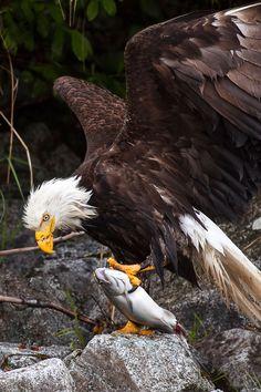 aigle-royal-poisson