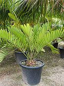 Buy Cycas revoluta and cycads and palm trees online Trees Online, Butterworth, The Dunes, Fast Growing, Palm Trees, Leaves, Landscape, Plants, Palm Plants