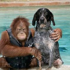 These two animals were both injured in a animal rescue both were scared and Lonely.. But both healed when one day one of the workers put them together and they became best friends they swim together and even through the ball the orangoutang throws and the dog catches they are going to be kept at the shelter so they can stay together!!
