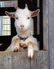 I used to milk goats by hand! Lots of work, since the kid kept jumping all over my back, on the narrow window ledge, on my back again. It was like being caged with ping pong ball.