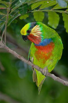 Papagaio de figueira de Edwuads (Psittaculirostris edwardisii)