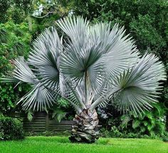 The Bismark Palm (Bismarckia nobilis) originates from the Madagascar Islands. Despite it's exotic appearance, the Bismark Palm can grow in a large variety of climates because it is cold-hardy down to 20 degrees fahrenheit.