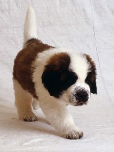 "An Adorable St. Bernard Puppy:  ""These Dogs, (When Fully-Grown) have saved many peoples lives when they have been trapped under Avalanches; in regions such as: The Alps."""