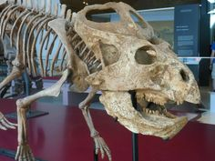 Protoceratops - the ROM - Kendra Spence