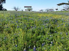 2015 - Bluebonnets at Lake Colorado City State Park west of Abilene