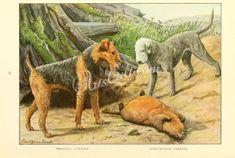 Airedale Terrier, Bedlington Terrier      ...