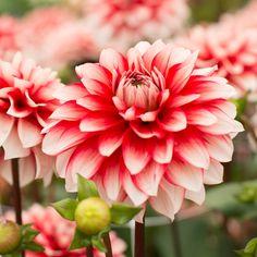 Dahlia 'Larry's Love' - Larry hat sich in das feurige Rot dieser Dahlie, das durch die weißen Spitzen der Blütenblätter noch verstärkt wird, bis über beide Ohren verliebt. Larry's Love ist eine außergewöhnlich reichblühende Dahlie für Ihren Garten. Durch ihre kräftige und kompakte Wuchsform lässt sie sich auch prima als Topfpflanze verwenden. Pflanzzeit für die Knollen ist im Frühling - online bestellbar bei www.fluwel.de